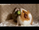Guinea Pig Won't Share Her Snacks With Anyone