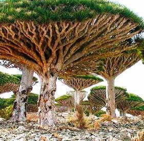 Дерево  Кровь Дракона или Сангре де Драго (Croton lechleri).