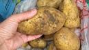 Чем болеет картофель Пятна на клубнях картофеля почему