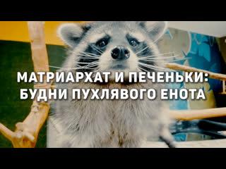 Матриархат и печеньки: жизнь самого толстого енота в Петербурге