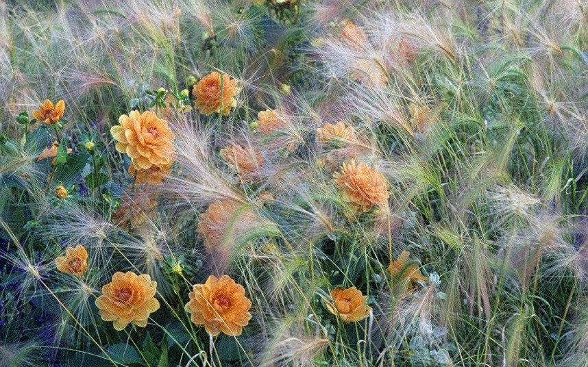 Осенний сад на даче-Оранжевые георгины и ячмень гривастый