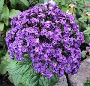 Ароматный цветок гелиотроп: сорта и разновидности.