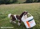 Кокер-спаниель Джесс с большой фермы Луизы Мурхаус(Louise Moorhouse) в Девоншире(