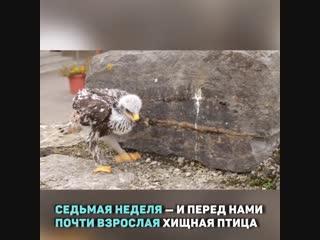 Как вырастить орла