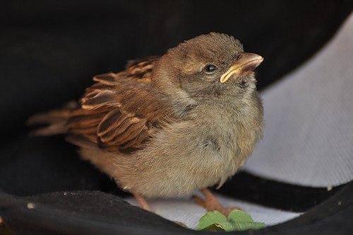 фото птенцы воробья