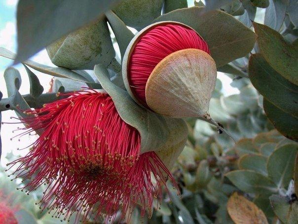 Удивительный цветок эвкалипта.