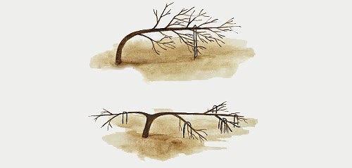 Формирование плодовых деревьев гнутьем без обрезки
