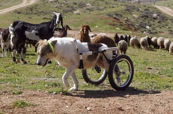 Собака пастух