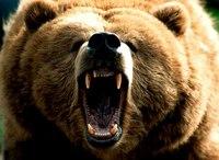 "PhotoCol.net  "" бурый медведь.  Фото, фотографии, обои, картинки бесплатно.  Фотки коллекция."
