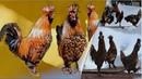 Altai Chickens Pavlovskie chickens ПАВЛОВСКИЕ КУры Танго