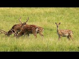 Sika deer / Пятнистый олень / Cervus nippon