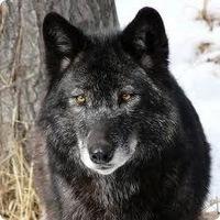 Вова Волк