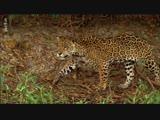 Le jaguar, chasseur solitaire ARTE