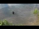 Лабрадор Юта 9 мес впервые купается
