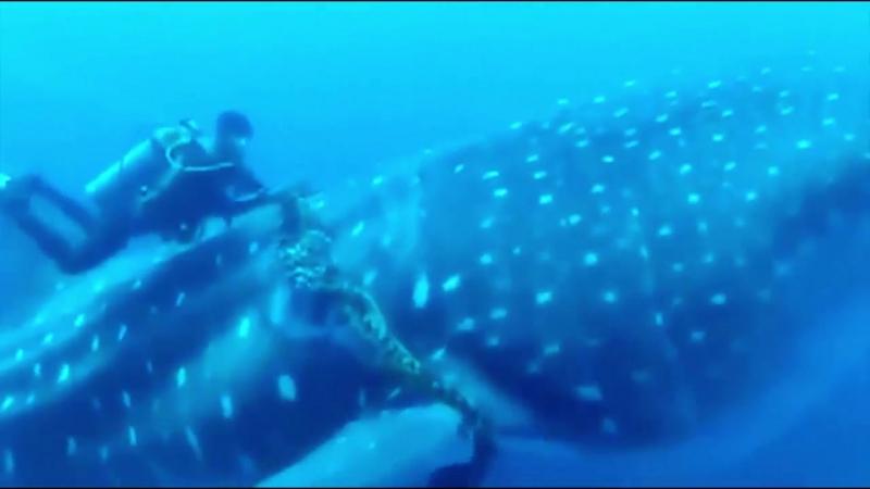 неравнодушные дайверы спасают китовую акулу