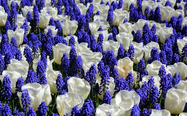 White tulips and blue muscari