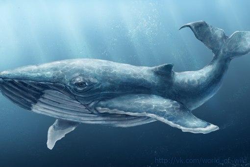 Сердце кита бъется только 9 раз в минуту.