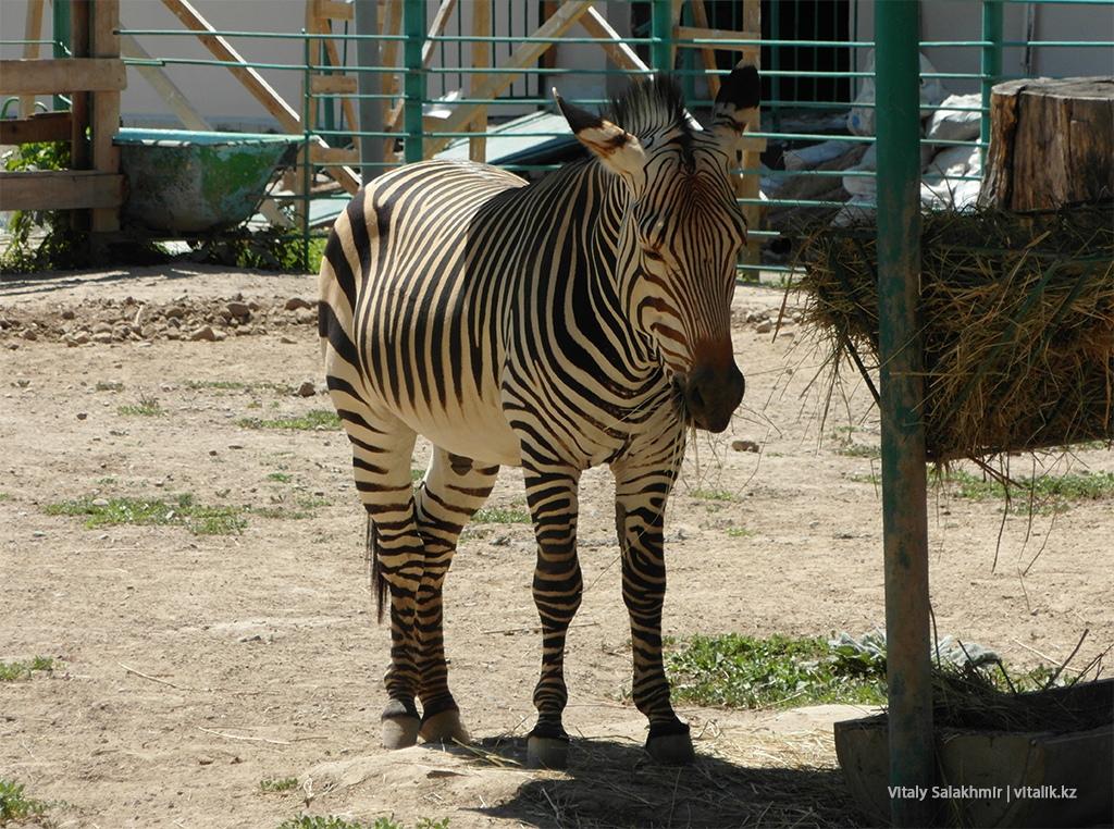 Алматинский зоопарк, зебра