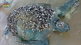 Removing Barnacles from Poor Sea Turtles Compilation - Rescue Sea Turtles