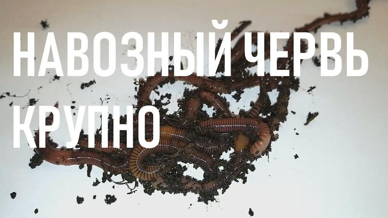 Навозный червь с морфологическими особенностями. Навозный червь крупно. eisenia fetida