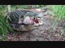 Гребнистые крокодилы поедают свиную голову и рыбу