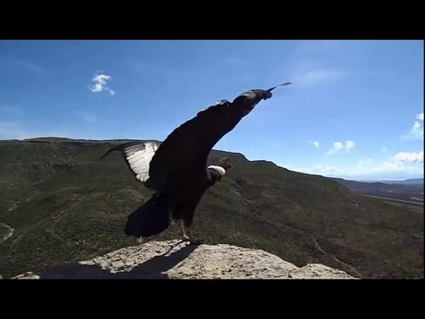 Отпущенный на волю кондор расправляет крылья