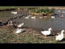 Массовый заплыв гусей 🦆в усадьбе Марьино