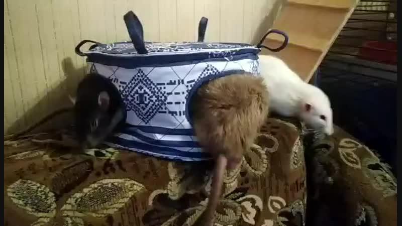 Крысы и новый домик-тортик