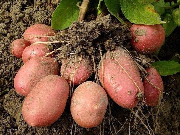 Про картофель: