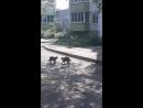Ворона встревает в драку котов. УДИВИТЕЛЬНО!