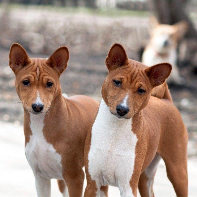 Басенджи – это единственная в мире порода собак, которые не умеют лаять.