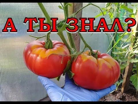 ВАЖНО Сделайте это с томатами в АВГУСТЕ