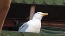 Чайка ржет D