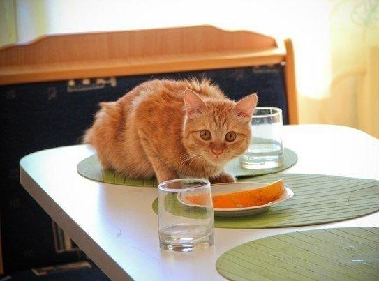 """Решили завести котенка? Ознакомьтесь с кошачьими правилами питания 1) Если в миске лежит два куска мяса, нужно обязательно вытащить их из миски на пол. 2) Если эти два куска не одинаковы по размеру, нужно отгрызать от большого куска до тех пор - пока они не сравняются в размерах, а потом """"забыть"""" про оба куска. 3) Орать истошным мявом, клянча еду у хозяина, а когда всё же что-нибудь в миску положат, понюхать, и демонстративно отойдя в угол, начать вылизывать задницу. 4) Если насыпали…"""