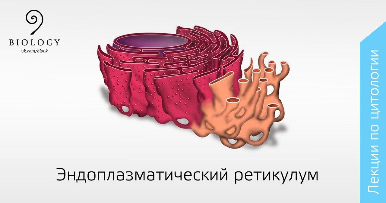 Ретикулум Эндоплазматический