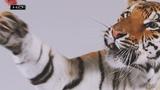 Сытный рацион из медвежатины и таинственный знак на лбу - Тигр