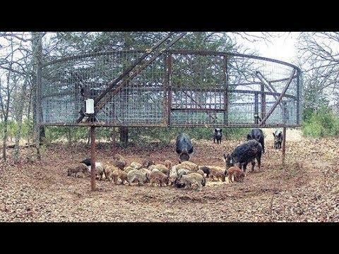 Thả 2 ký thức ăn vô tình úp sọt được 30 con lợn rừng cao thủ bắt lợn