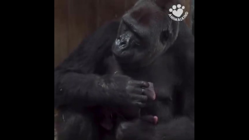 Say hi to baby Moke! Calaya is a first time mom, and caretakers said she is doin ( 480p ).mp4