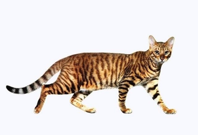 Характер, уход и питание уссурийской кошки