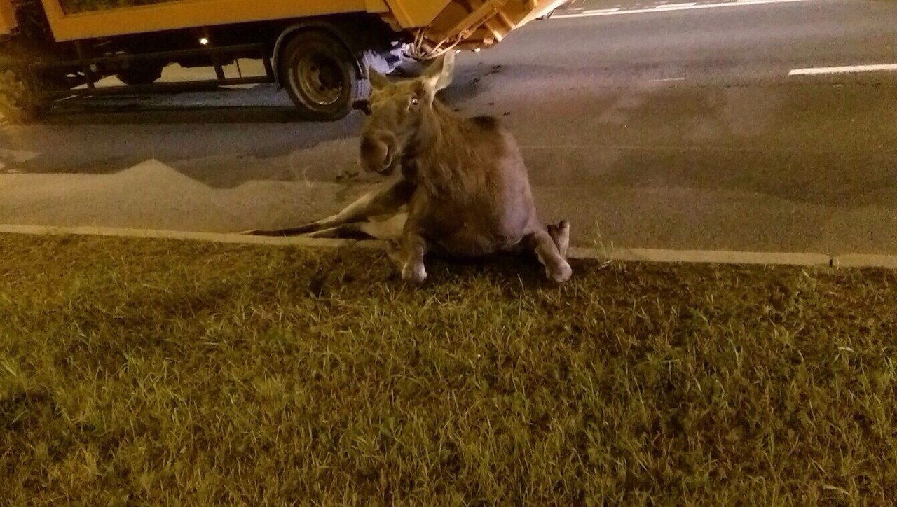 Лося сбила машина навыезде изПулково