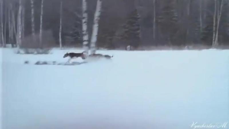 Серый волк mp4