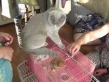 Британская киса общается с вислоухим кроликом (2011)