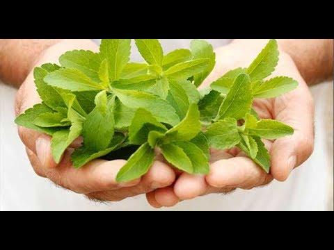 Tout savoir sur la plante Stevia ka'a he'ê Bienveillante puissante