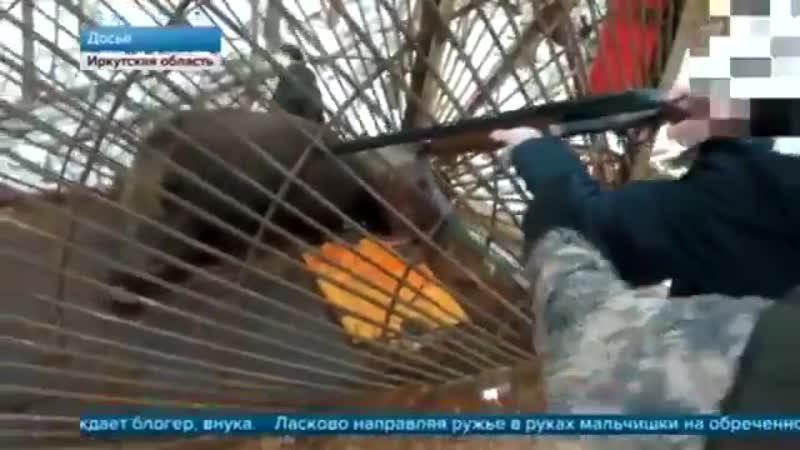 Малолетний внук губернатора Левченко на камеру убивает загнанного в клетку кабана. Просто слов нет вот же твари.