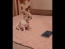 ПРОДАЕТСЯ очень красивый щенок чихуахуа. Только для любви и обожания