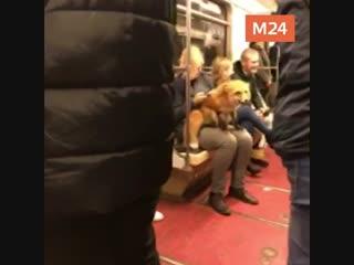Лиса в московском метро