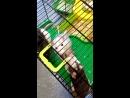 Крысы дерутся