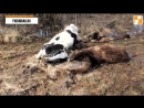 Падёж скота Тверская область д Иваньково На территории фермы валяются трупы животных которые умерли от голода Со слов админ