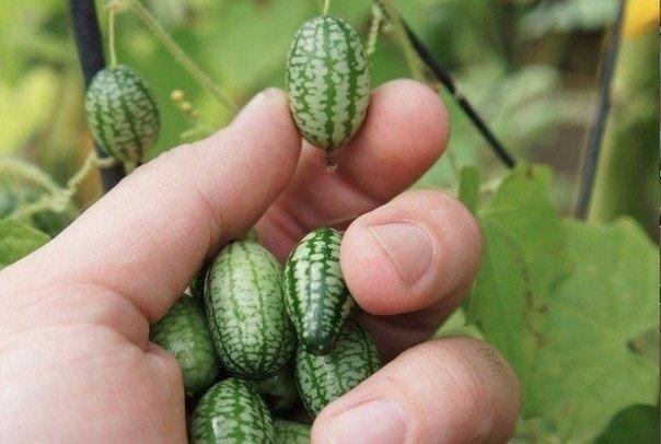 Не знаете что посадить Посадите огурец арбузный. Или арбуз огуречный (Cucamelons). Они не большого размера. На вкус как огурец с привкусом лимона. И легко выращиваются. Родом это чудо из
