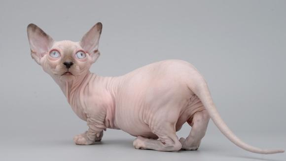 SERVAL kittens for sale | котята СЕРВАЛ | ВКонтакте